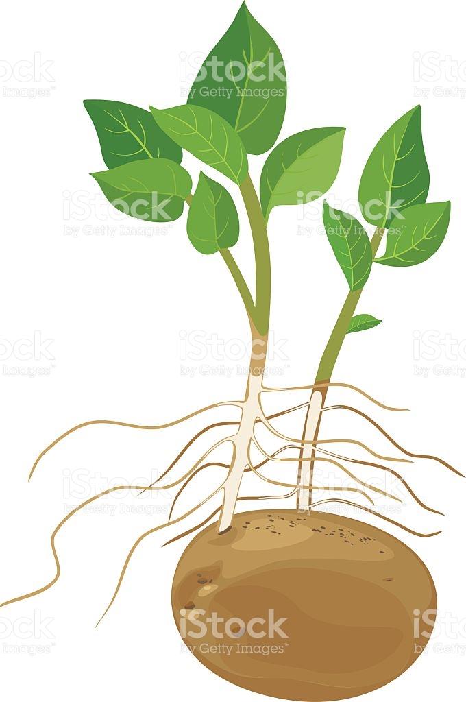 Potato Plant stock vector art 545451004.