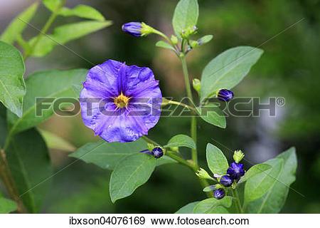 "Stock Photograph of ""Blue Potato Bush (Solanum rantonnetii."