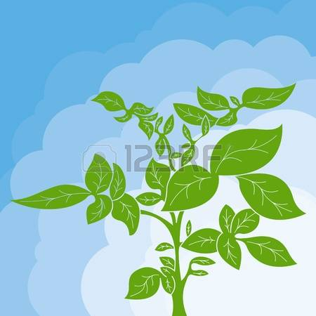 2,576 Potato Plant Stock Vector Illustration And Royalty Free.