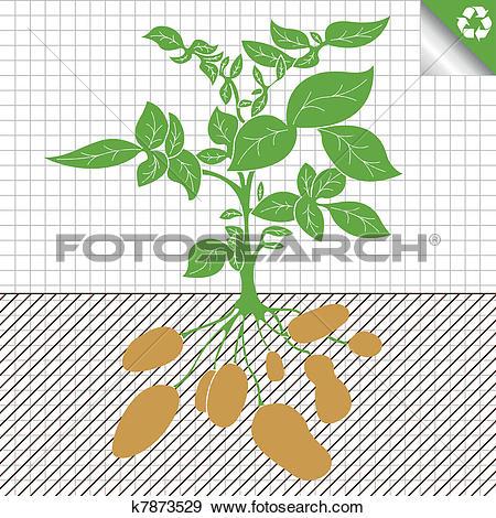 Clip Art of Potato plant bush vector concept k7873529.