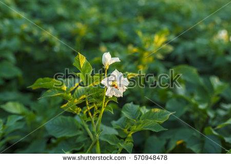 Potato Bush Flowers Stock Images, Royalty.