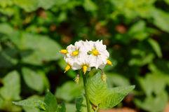 Potato Bush Flowers Stock Photos, Images, & Pictures.