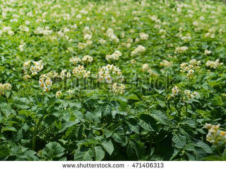 Potato Bush Flowers Stock Photos, Royalty.