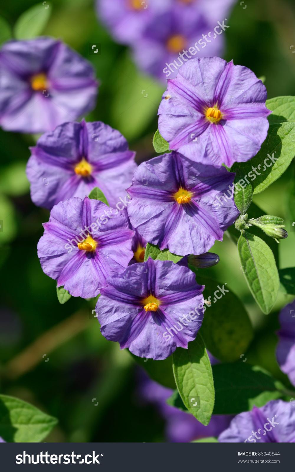 Purple Flowers Of Lycianthes Rantonnetii Or Blue Potato Bush Stock.