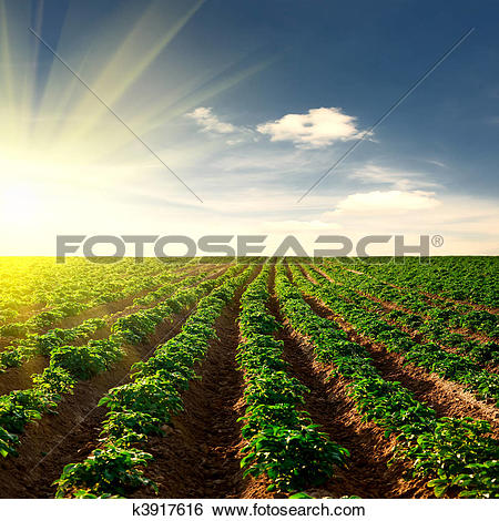 Stock Images of potato field on a sunset k3917616.