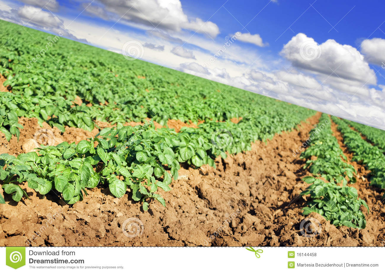 Potato Farm Field With Sky And Clouds Royalty Free Stock Photos.