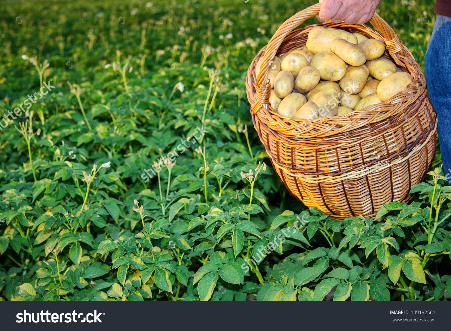 Basket Full Potatoes Potato Field Stock Photo 149192561.