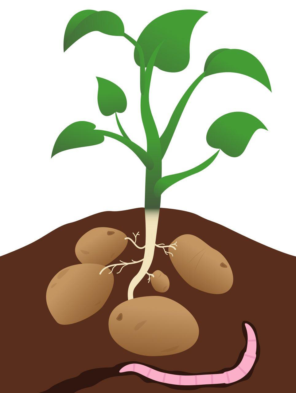 potato plant images.