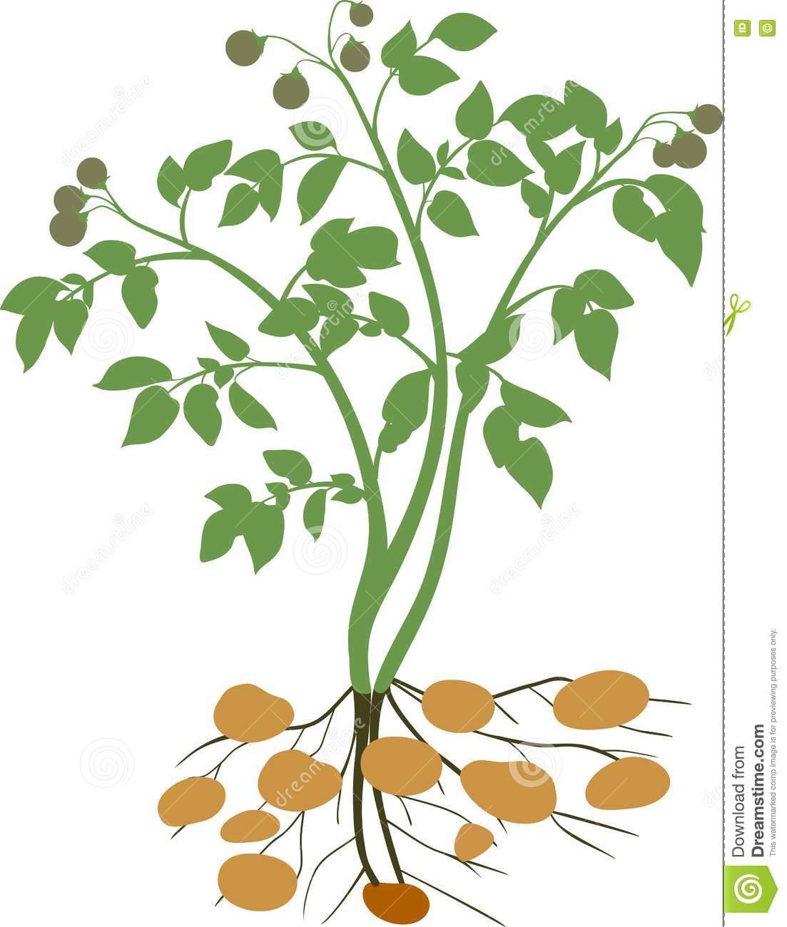 Potato Plant Silhouette Stock Vector Image: 72548736.