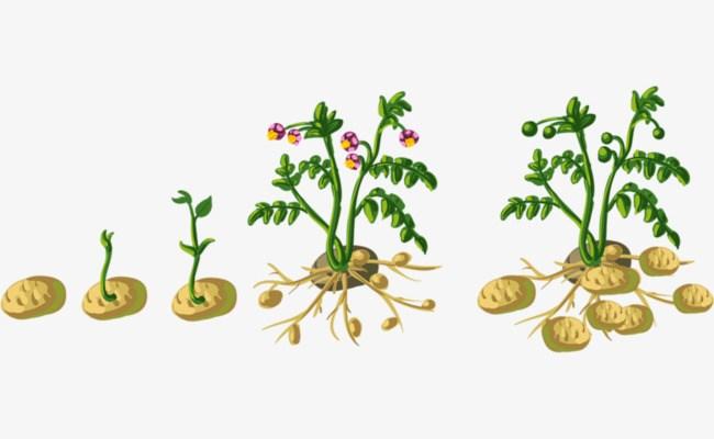 Potato plant clipart 6 » Clipart Portal.
