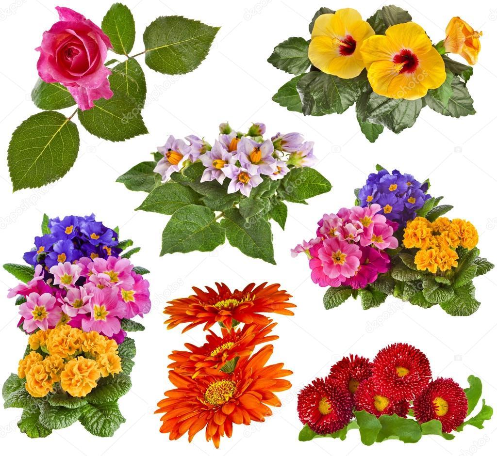 Flowers Bouquet: Rose, Hibiscus, Potato, Primrose, Gerbera, Daisy.