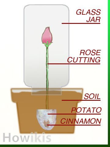 1000+ ideas about Rose Cuttings on Pinterest.