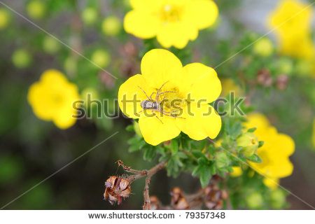 Potentilla Fruticosa Stock Photos, Royalty.