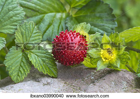"Stock Photography of ""Mock strawberry (Potentilla indica), Tyrol."