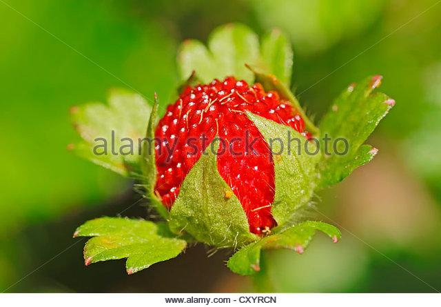 Indian Mock Strawberry Stock Photos & Indian Mock Strawberry Stock.