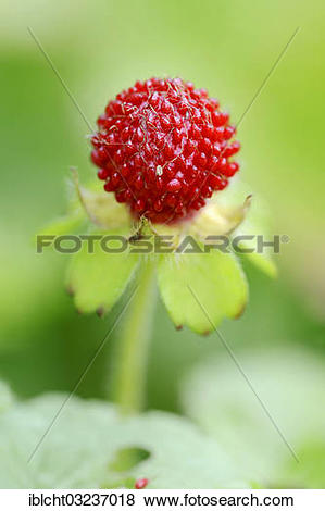 """Pictures of """"Mock Strawberry, Gurbir, Indian Strawberry or False."""