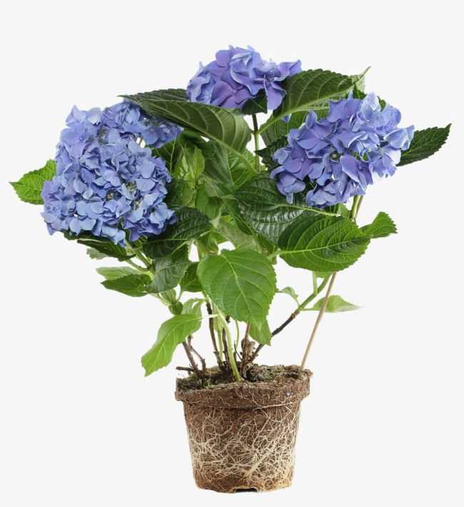 Potted Purple Flowers PNG, Clipart, Flowers, Flowers Clipart.