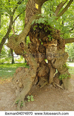 """Stock Photography of """"Old lime tree, a natural monument in the."""