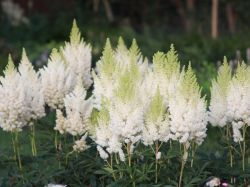 1000+ ideas about Astilbe Japonica on Pinterest.