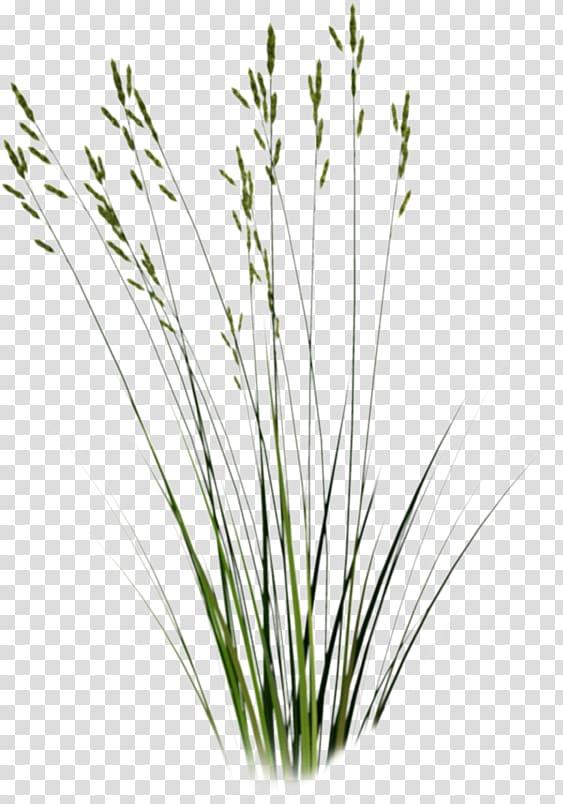 Green grass , Tallgrass prairie Sweet Grass Plant , grass.