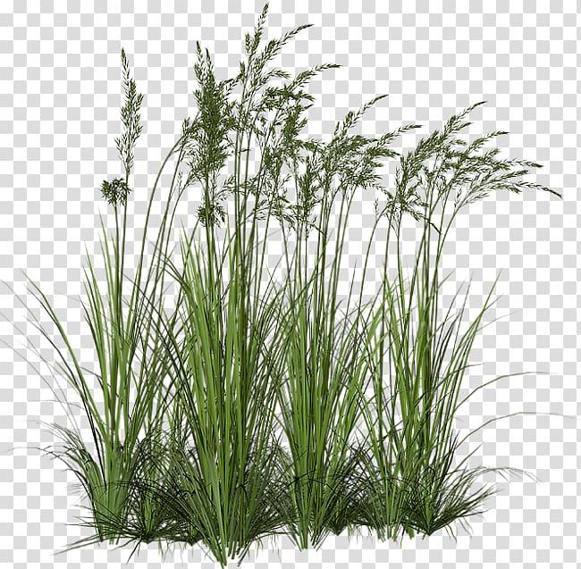 Ornamental grass Grasses Tallgrass prairie , grass trees.
