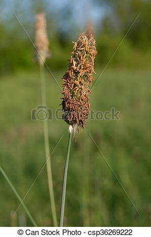 Stock Photo of Timothy grass (Phleum pratensis) in the fields weed.