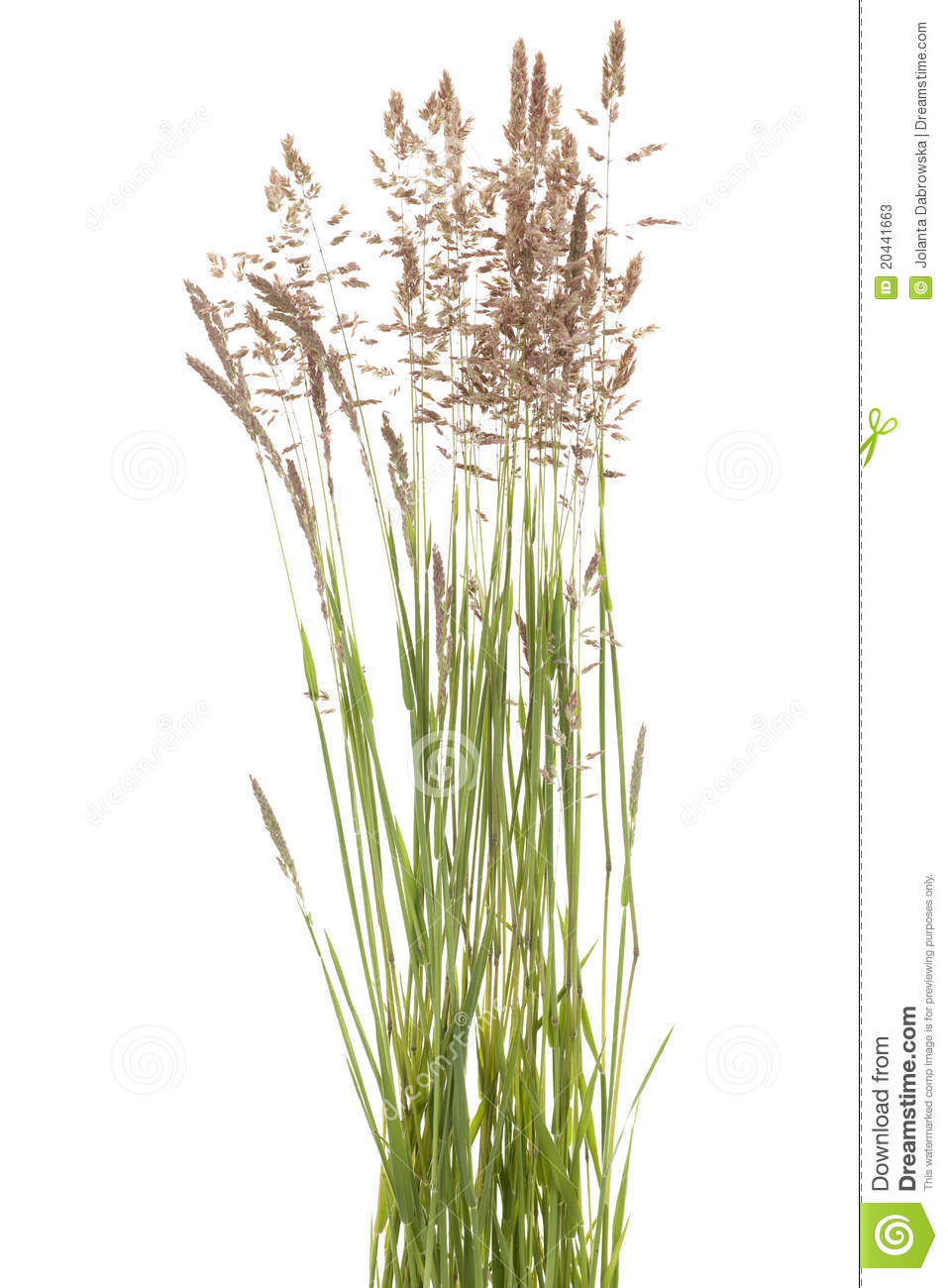 Poa Pratensis Stock Photos.
