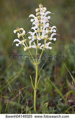 Stock Image of White Meadow Sage (Salvia pratensis), rare color.