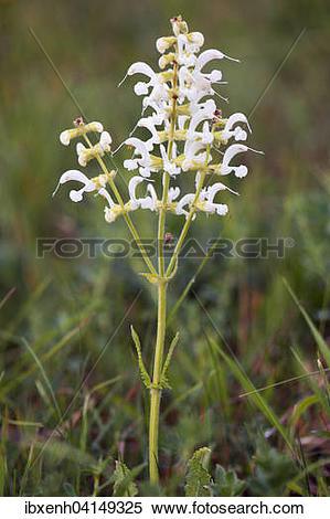 Stock Image of White Meadow Sage (Salvia pratensis), rare color.