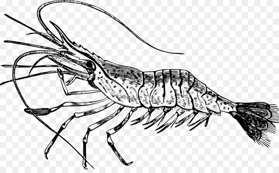 Shrimp Cartoon clipart.