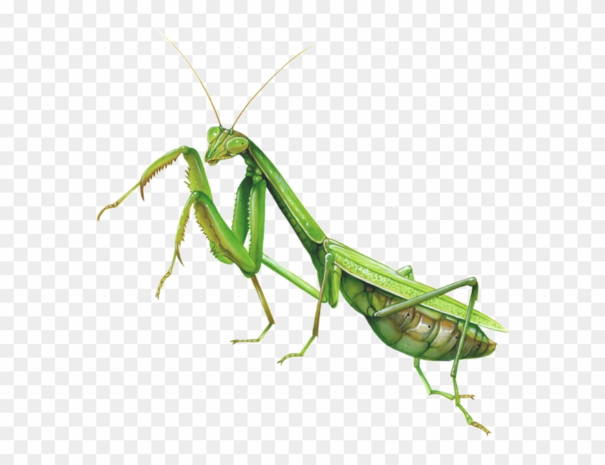 Mantis Clipart Insect Bug.