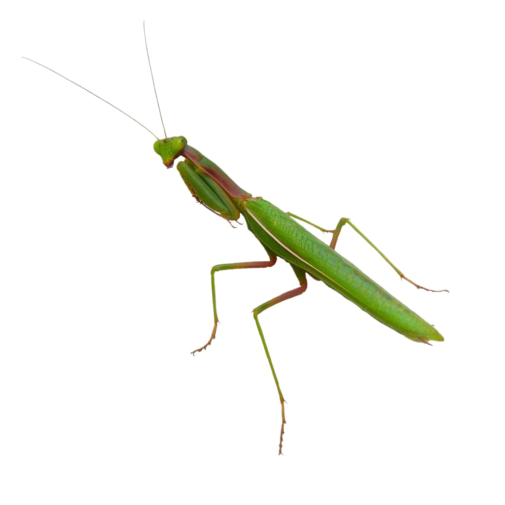 Mantis PNG Transparent Images.