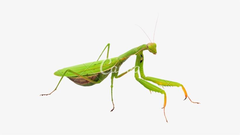 Mantis Png Transparent Image.