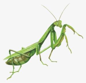 Mantis Png PNG Images.