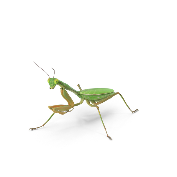 Praying Mantis PNG Images & PSDs for Download.
