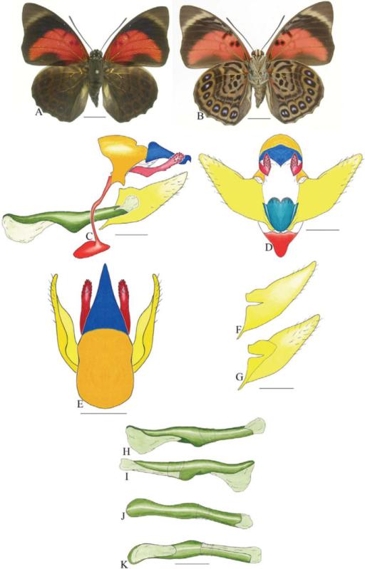 Prepona claudina annetta (Gray). A. Dorsal. B. Ventral..