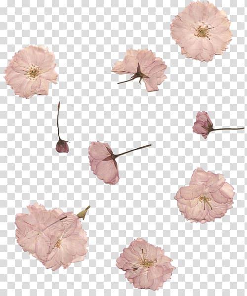 White flowers , Pressed flower craft Cherry blossom Petal.