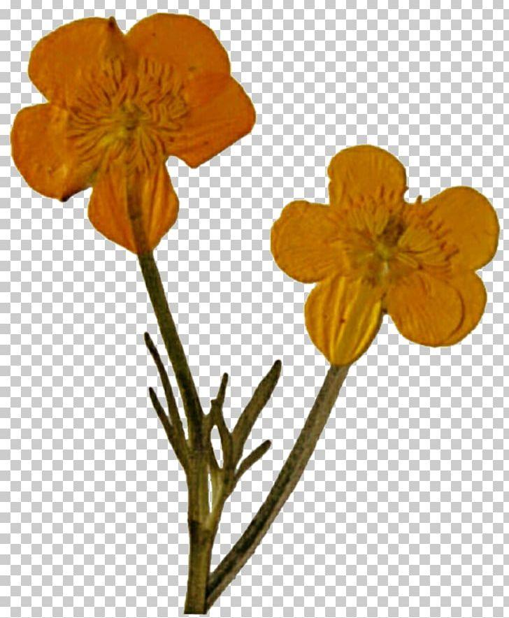 Pressed Flower Craft Poppy Cut Flowers Wildflower PNG.