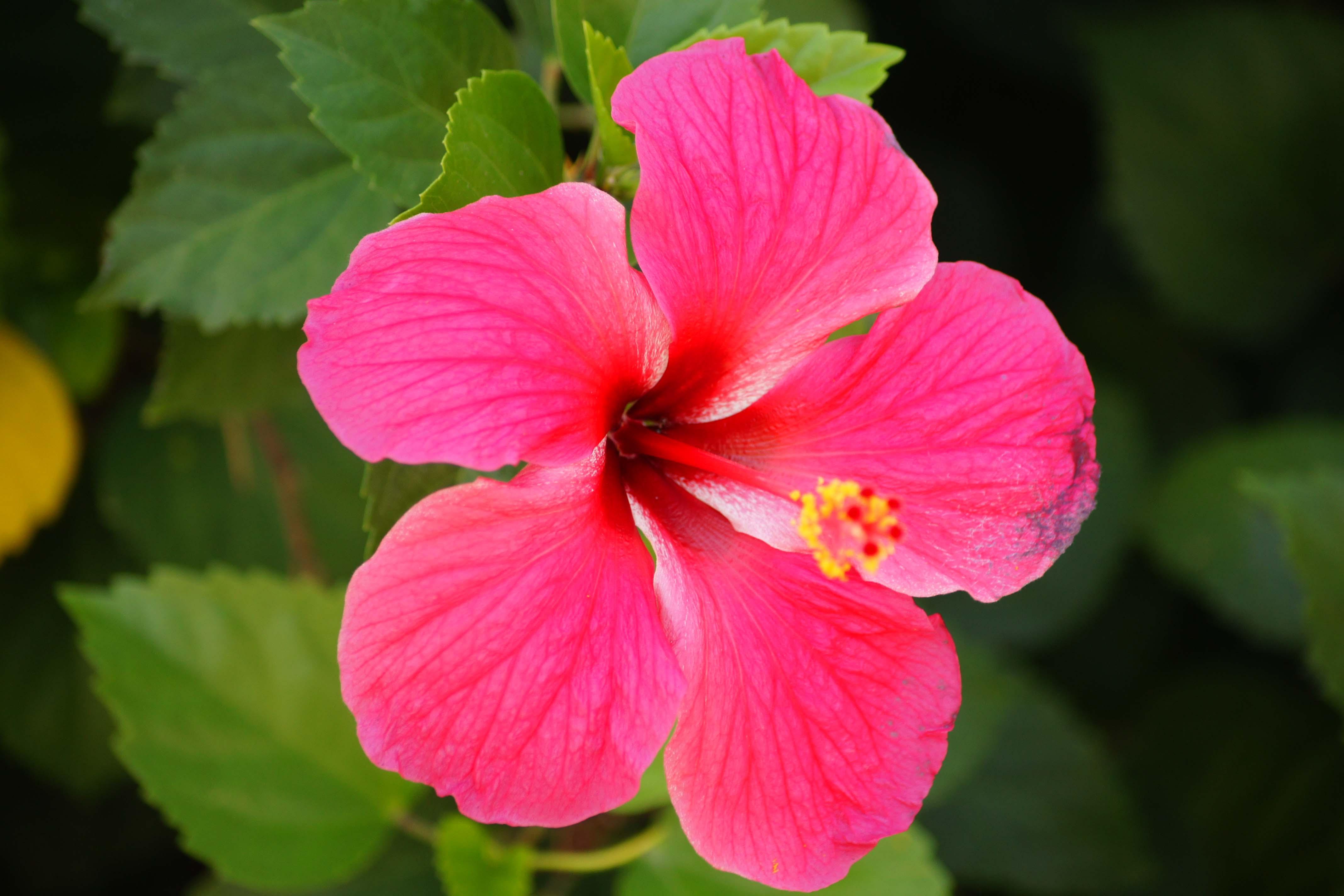 Hawaiian Flowers.