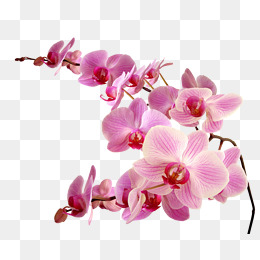Pink Orchid Flower, Pink Flowers, Squid, #25397.