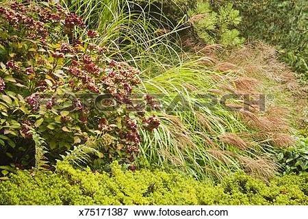 Picture of Preziosa Hydrangea and Yaku Jima Silver Grass x75171387.