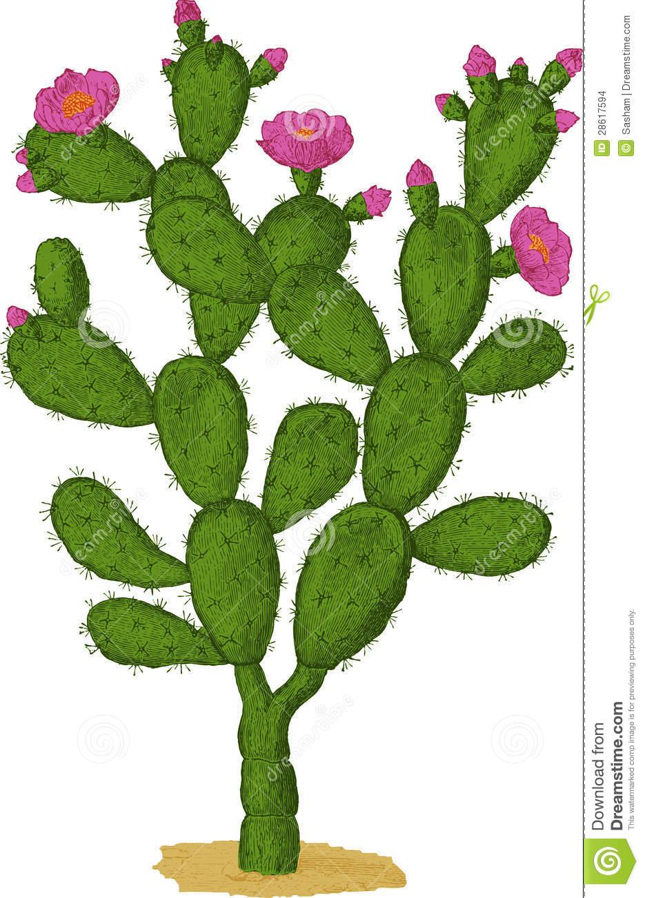 Prickly pear cactus clipart.