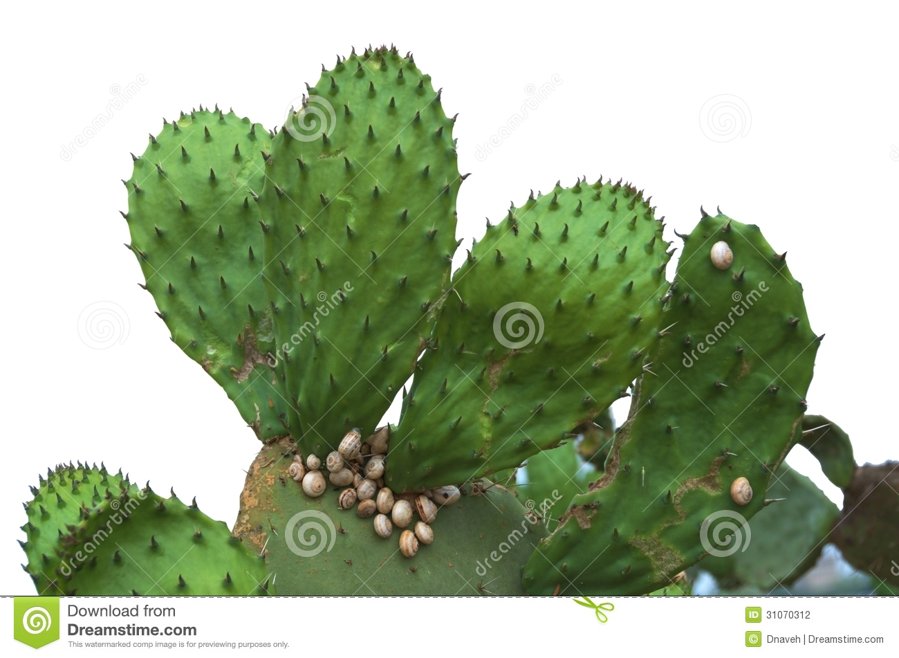 Isolated Prickly Pear Cactus With Snails Stock Photography.