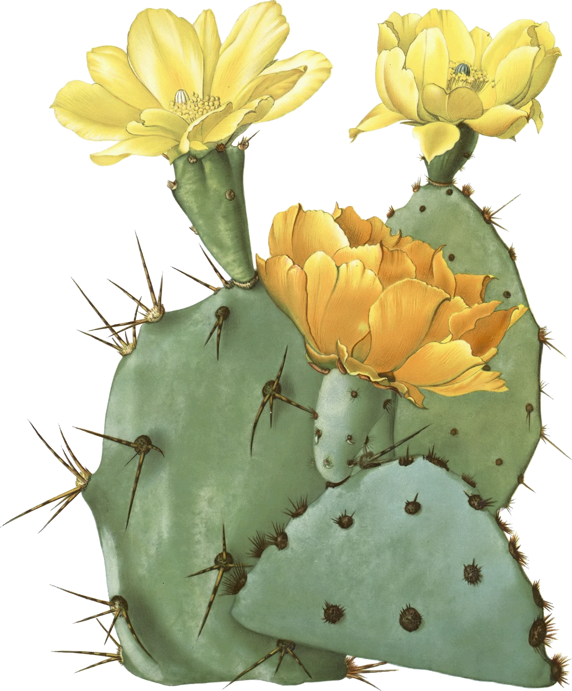 Opuntia laevis (Spineless Prickly Pear, Tulip Pricklypear.