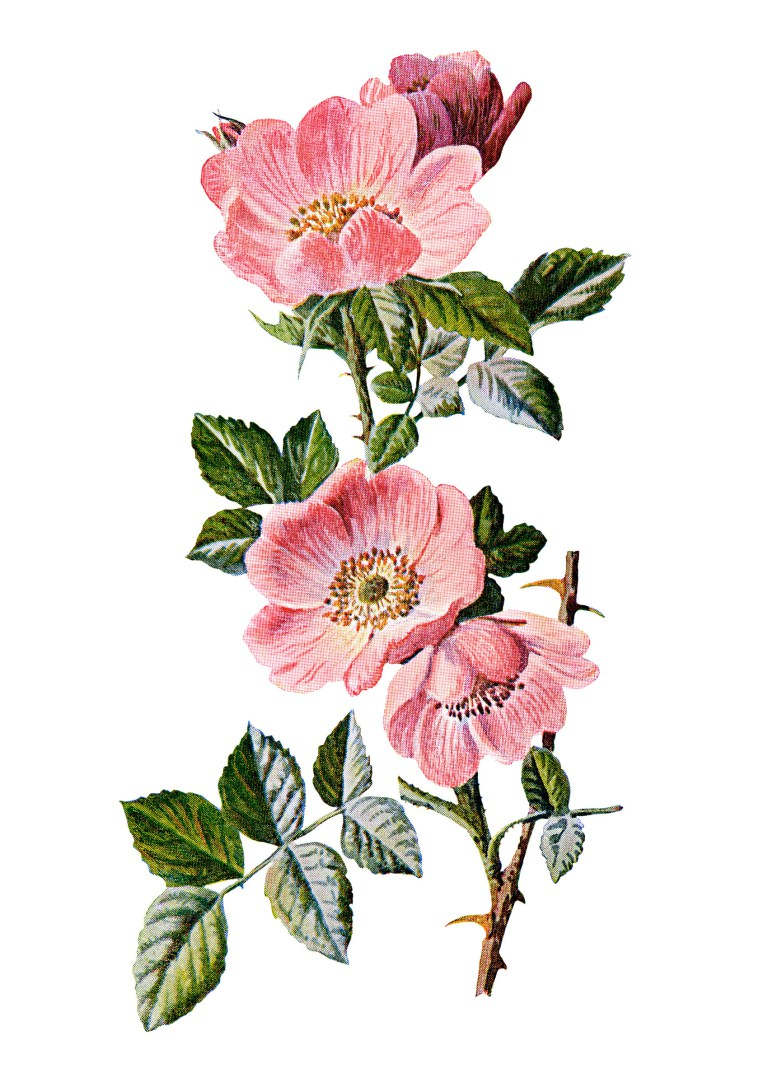 rose clip art, sweet briar, vintage flower illustration, wild rose.