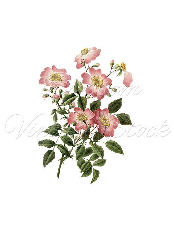 Roses Clipart, Floral Art, Botanical Print, Digital Image, Antique.