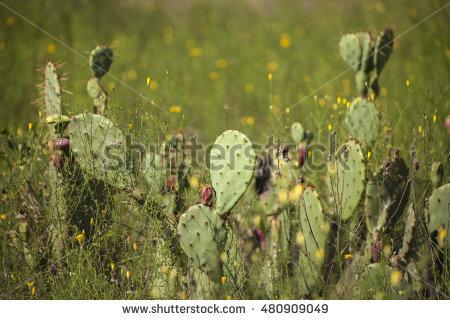 Prickly Pear Cactus Stock Photos, Royalty.