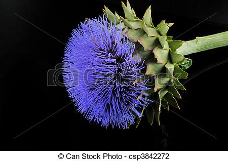 Stock Photo of Blue flower, prickly plant with a green stem.