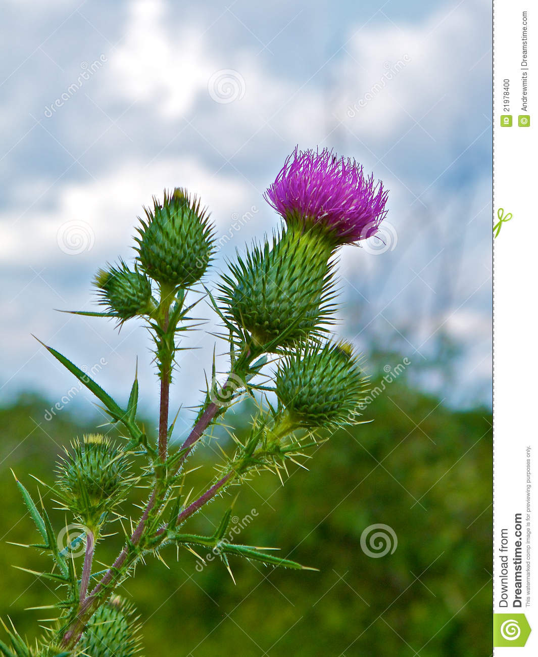 Prickly Profile Of Bull Thistle Plant Stock Photo.