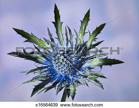 Stock Photograph of close up of a prickly blue thistle blossom.
